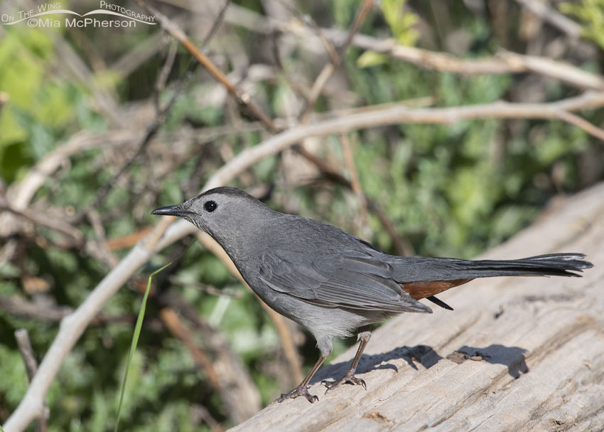 Gray Catbird with a messy background, Little Emigration Canyon, Summit County, Utah