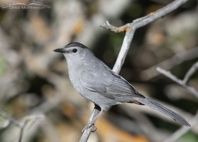 Gray Catbird in a mountain canyon, Little Emigration Canyon, Summit County, Utah