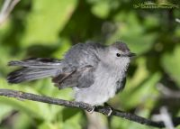 Gray Catbird shaking its feathers, Little Emigration Canyon, Summit County, Utah