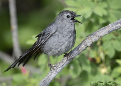 Singing Gray Catbird after it bathed, Little Emigration Canyon, Summit County, Utah