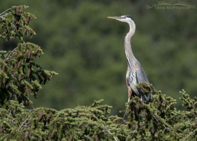 Great Blue Heron on a spruce tree, Little Emigration Canyon, Summit County, Utah