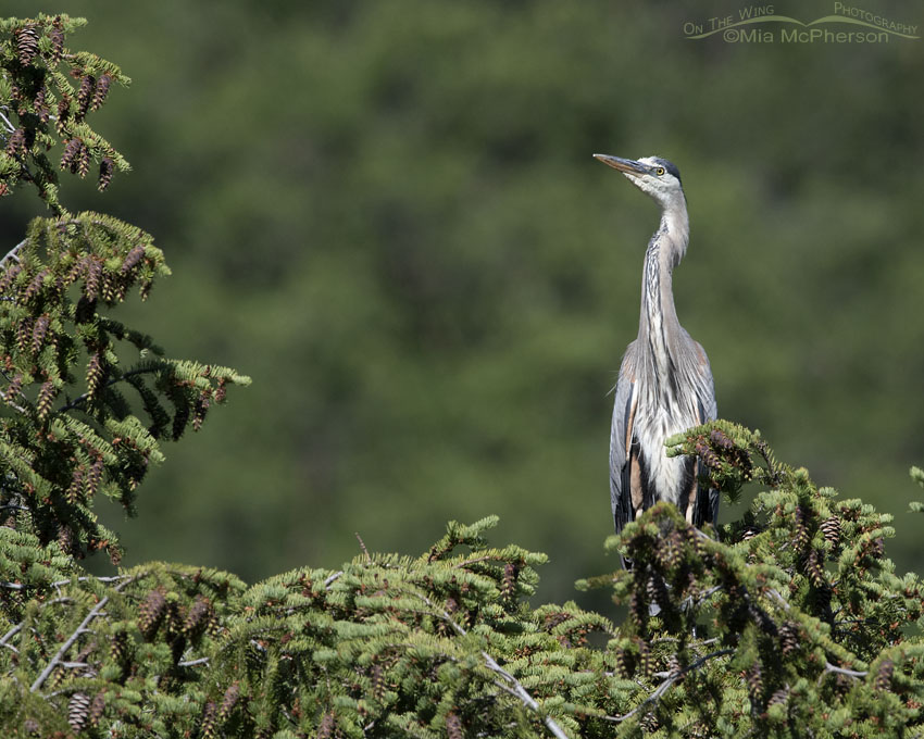 Great Blue Heron at more than 6129 feet elevation, Little Emigration Canyon, Summit County, Utah