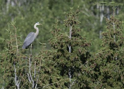 Great Blue Heron perched in top of a spruce tree, Little Emigration Canyon, Summit County, Utah