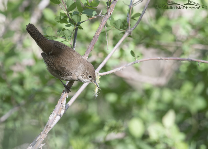 House Wren after picking up a feather for its nest, Uinta Wasatch Cache National Forest, Summit County, Utah