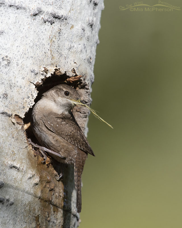 House Wren with a yellow feather at its nesting cavity, Uinta Wasatch Cache National Forest, Summit County, Utah