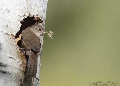 House Wren with a yellow feather at its nest, Uinta Wasatch Cache National Forest, Summit County, Utah