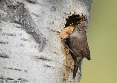 House Wren checking out its nesting cavity, Uinta Wasatch Cache National Forest, Summit County, Utah