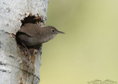 House Wren leaving its nesting cavity, Uinta Wasatch Cache National Forest, Summit County, Utah