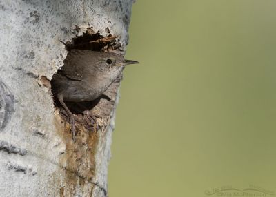 House Wren perched at the opening of its nest, Uinta Wasatch Cache National Forest, Summit County, Utah