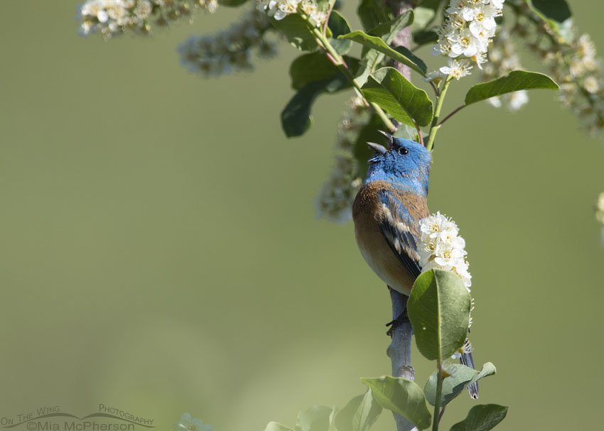 First spring male Lazuli Bunting singing, Little Emigration Canyon, Morgan County, Utah