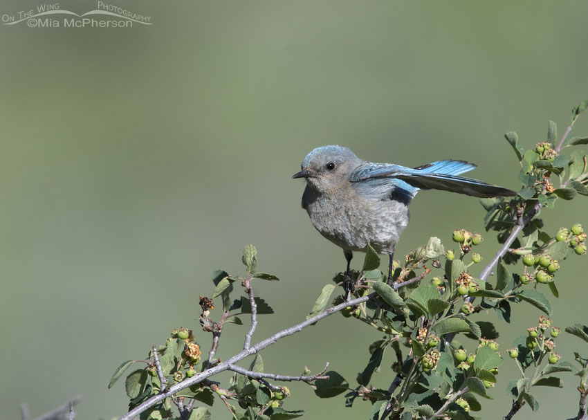 Female Mountain Bluebird in a strong breeze, Little Emigration Canyon, Summit County, Utah