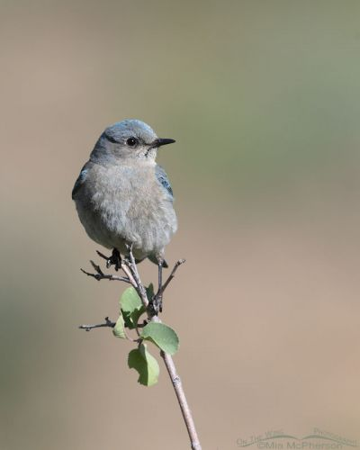 Female Mountain Bluebird in a canyon, Little Emigration Canyon, Summit County, Utah