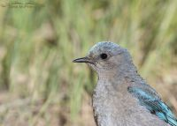 Female Mountain Bluebird close up, Little Emigration Canyon, Summit County, Utah