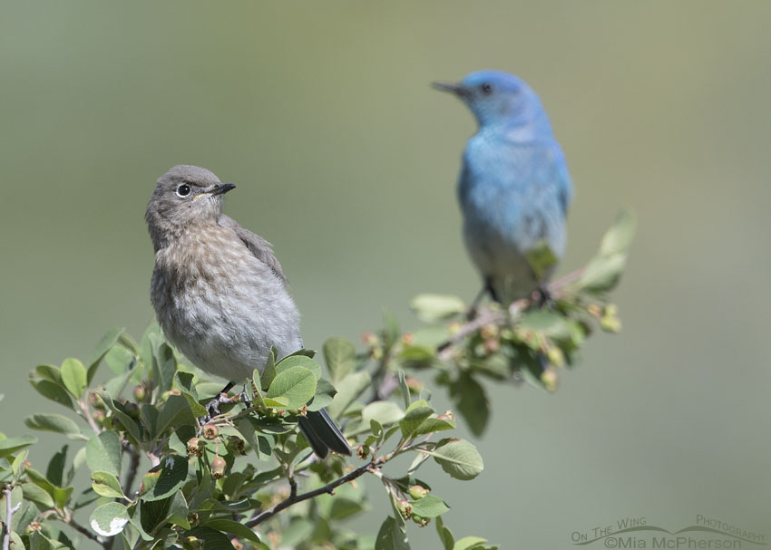 Juvenile Mountain Bluebird with adult male watching over it, Little Emigration Canyon, Summit County, Utah