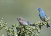 Mountain Bluebirds in a Wasatch Mountain Canyon, Little Emigration Canyon, Summit County, Utah
