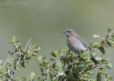 Juvenile Mountain Bluebird perched on a Utah Serviceberry bush, Little Emigration Canyon, Summit County, Utah