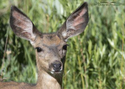 Mule Deer doe in willows, Little Emigration Canyon, Summit County, Utah