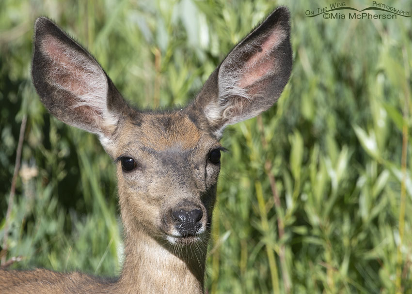 Mule Deer doe in willows, Little Emigration Canyon, Summit County, Utah
