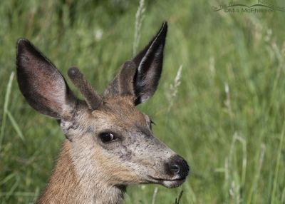 Young Mule Deer buck in the willows, Little Emigration Canyon, Summit County, Utah