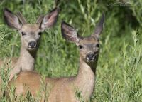 Pair of Mule Deer in willows, Little Emigration Canyon, Summit County, Utah