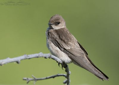 Northern Rough-winged Swallow perched, Little Emigration Canyon, Morgan County, Utah
