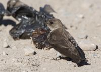 Northern Rough-winged Swallow on the ground next to a sack of crap, Little Emigration Canyon, Morgan County, Utah