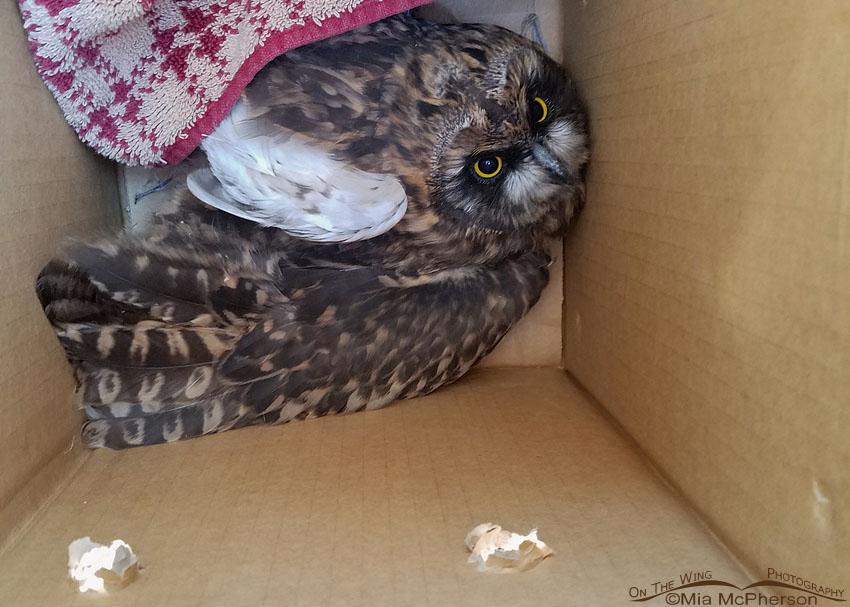 Rescued injured Short-eared Owl fledgling, Box Elder County, Utah