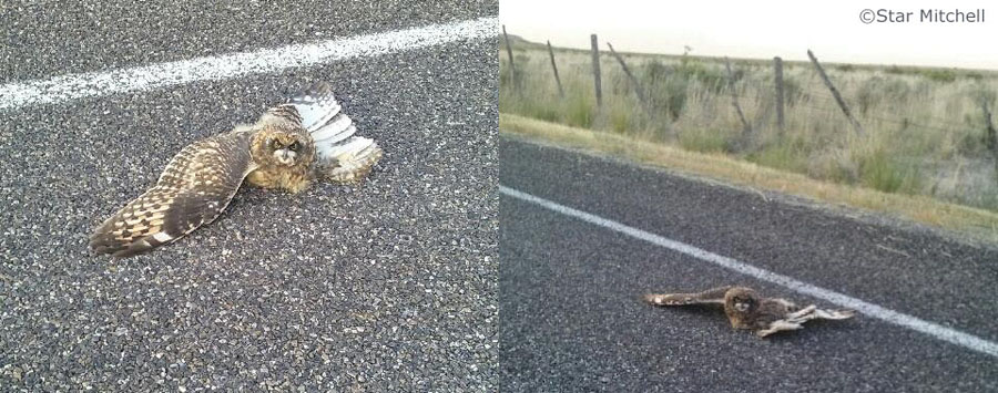Cell phone pictures of injured fledgling Short-eared Owl ©Star Mitchell