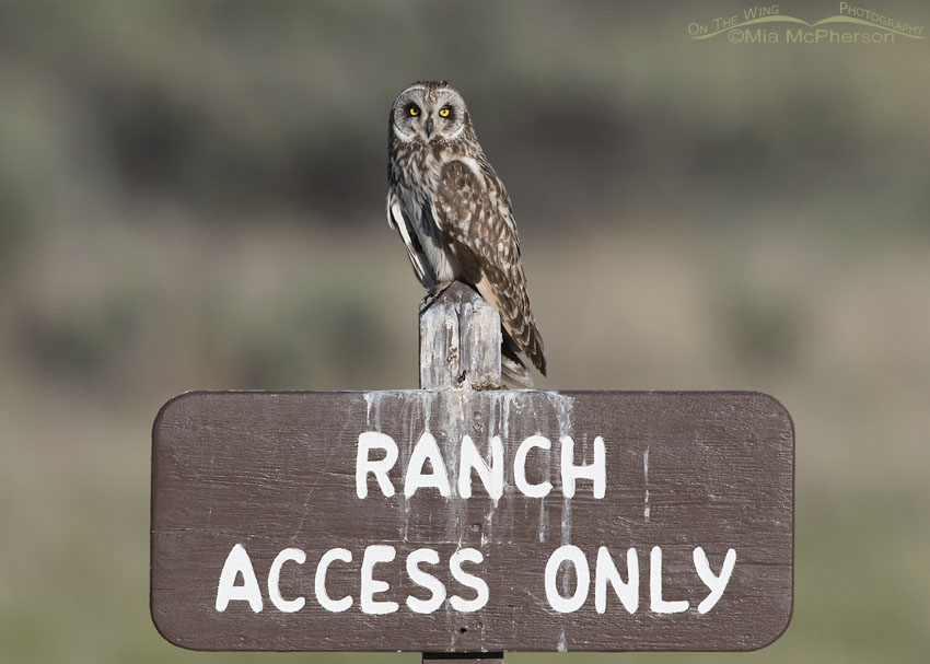 Short-eared Owl on a Ranch Access Only sign, Box Elder County, Utah