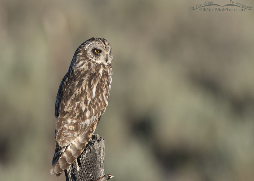 Short-eared Owl in Sagebrush Country, Box Elder County, Utah