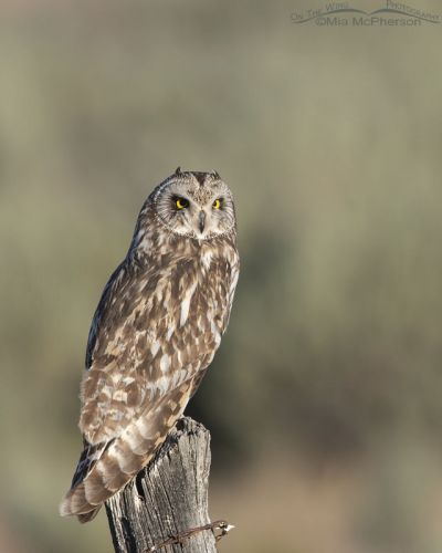 Short-eared Owl with Sagebrush in the background, Box Elder County, Utah