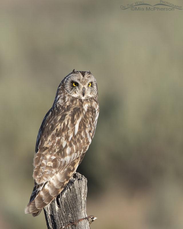 Short-eared Owl with Sagebrush in the background, Box Elder County, Utah