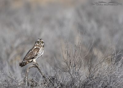 Short-eared Owl adult from a distance, Box Elder County, Utah