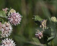 Showy Milkweed in bloom, Bear River Migratory Bird Refuge, Box Elder County, Utah