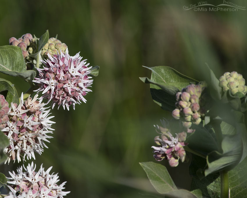 Showy Milkweed in bloom, Bear River Migratory Bird Refuge, Box Elder County, Utah