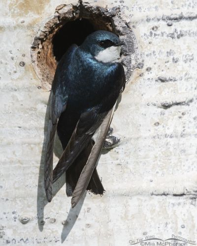 Male Tree Swallow at a nesting cavity in an Aspen, Uinta Wasatch Cache National Forest, Summit County, Utah
