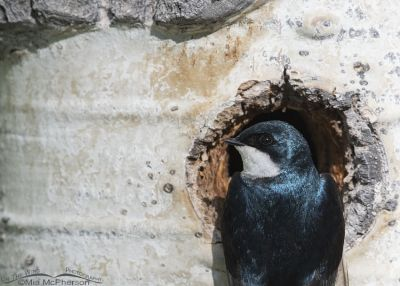 Close up of a male Tree Swallow at a nesting cavity, Uinta Wasatch Cache National Forest, Summit County, Utah