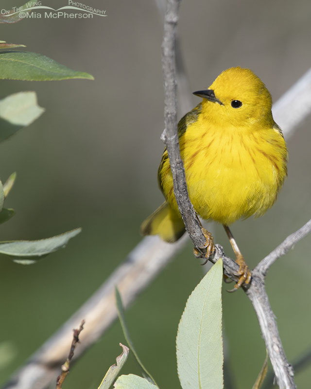 Yellow Warbler male close up, Little Emigration Canyon, Summit County, Utah