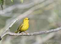 Male Yellow Warbler singing on an old branch, Little Emigration Canyon, Summit County, Utah