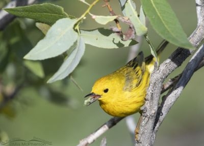 Male Yellow Warbler with prey in his bill, Little Emigration Canyon, Summit County, Utah