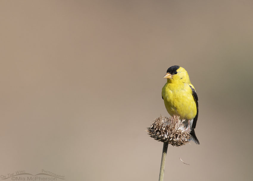 Male American Goldfinch perched on a dried MuskThistle blossom