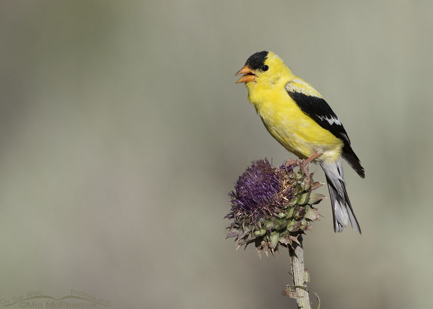 American Goldfinch singing on top of Musk Thistle, Little Emigration Canyon, Summit County, Utah
