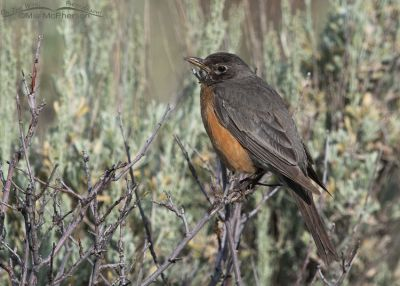 Female American Robin in a canyon, Little Emigration Canyon, Summit County, Utah