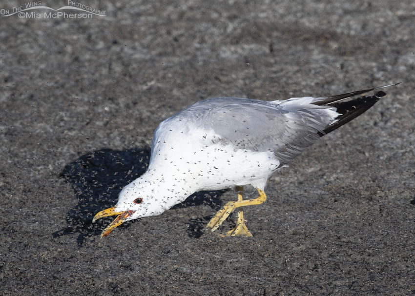 Adult California Gull scooping up brine flies with its bill, Antelope Island State Park, Davis County, Utah