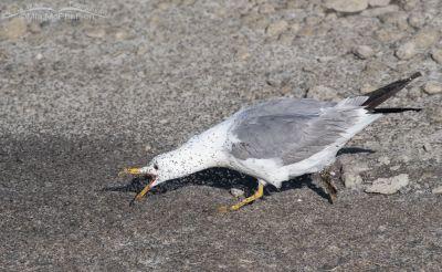 Adult California Gull chasing brine flies at the Great Salt Lake, Antelope Island State Park, Davis County, Utah