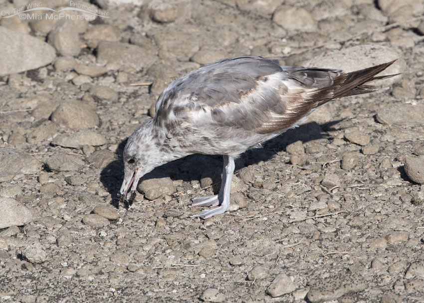 Immature California Gull eating brine flies one by one, Antelope Island State Park, Davis County, Utah