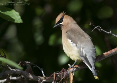 Cedar Waxwing with dark background, Little Emigration Canyon, Summit County, Utah