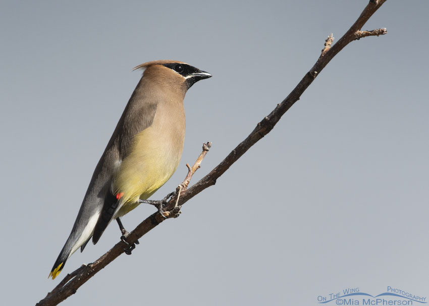 Cedar Waxwing with blue background, Little Emigration Canyon, Summit County, Utah