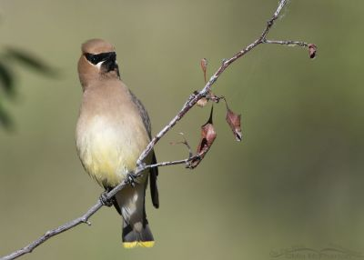 Cedar Waxwing perched on a thin branch, Little Emigration Canyon, Summit County, Utah