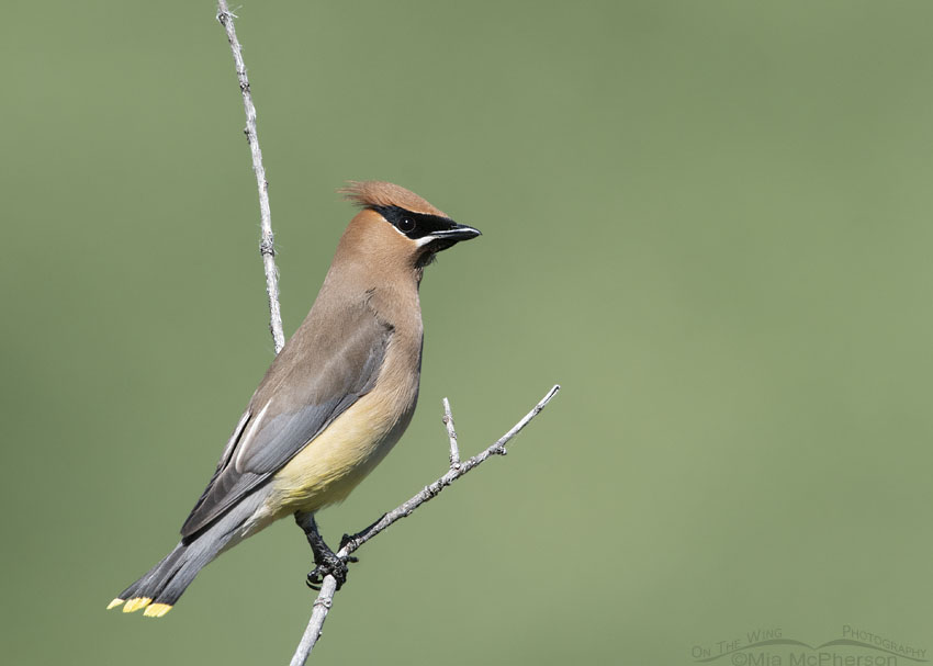 Cedar Waxwing with plain green background, Little Emigration Canyon, Summit County, Utah